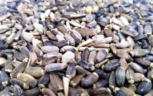 cardo-mariano-semilla