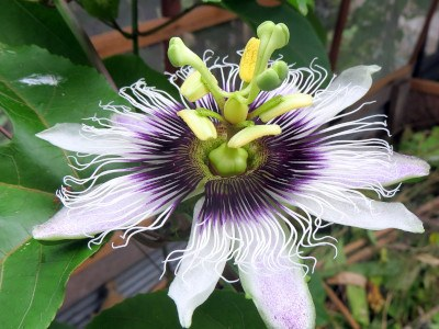 Flower of the passiflora